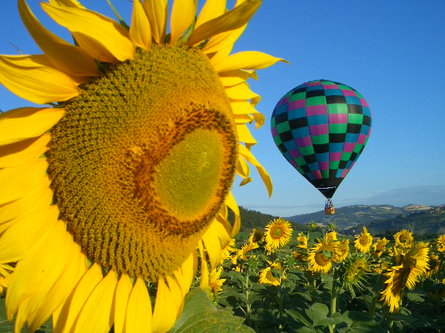 Balloon in Sunflowers